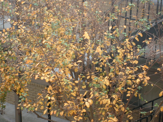 the crape myrtle looking like it's Fall