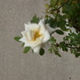 White rose blossom.