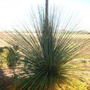 Xanthorrhoea quadrangulata - Grass Tree  (Xanthorrhoea quadrangulata - Grass Tree)