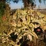 Kalanchoe beharensis - Felt Plant (Kalanchoe beharensis - Felt Plant)
