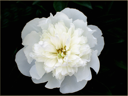 "Peony ""Wedding Day"""