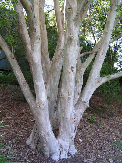 Sydney trees