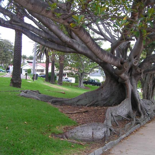 Sydney tree