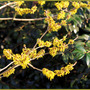 Witch hazel (Hamamelis mollis (Chinese witch hazel))