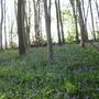 bluebells spring 2008