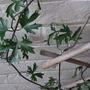 clematis white (Clematis cirrhosa (Clematis))