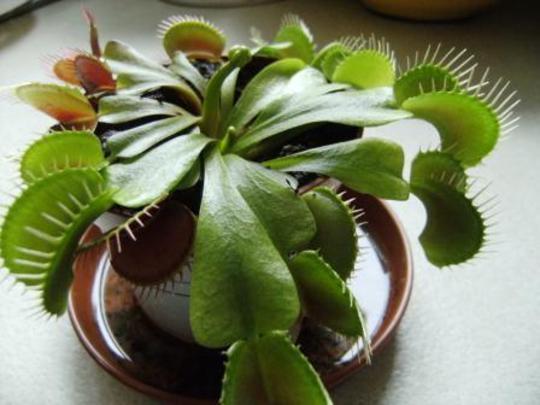 Dionaea muscipula (Venus fly trap) (Dionaea muscipula (Venus flytrap))