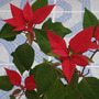 5 year old Poinsettia