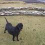 lassie at birsay