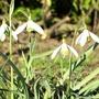 Snowdrops now!!!!! (Galanthus nivalis (Common snowdrop))