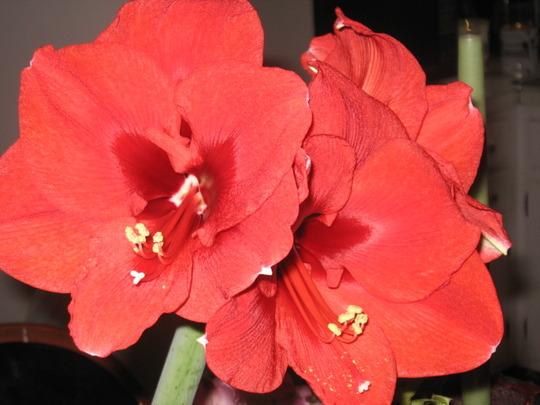Christmas Amaryllis (Amaryllis belladonna (Belladonna lily))
