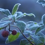 Strawberry_tree