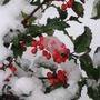 fresh snowfall on holly