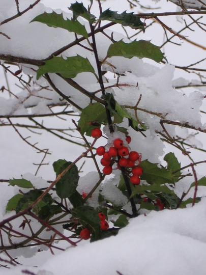 holly under snow