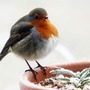 Fat_robin_001