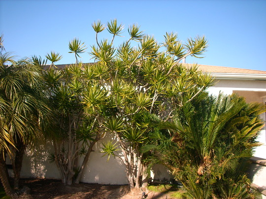 Dracaena marginata at Pacific Beach (Dracaena marginata (Dragon tree))