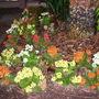 Kalanchoe blossfeldiana - Kalanchoe (Kalanchoe blossfeldiana)