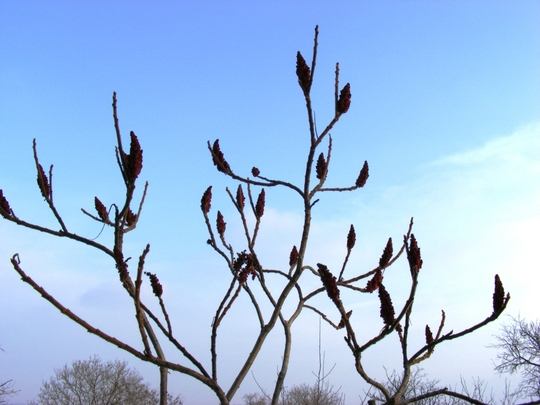 Rhus candles (Rhus typhina (Stag's horn sumach))