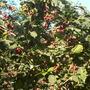 coffee bushes