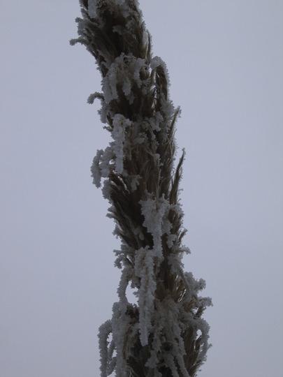 Proud Pampas  (Cortaderia araucana (Pampas Grass))