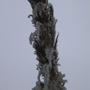 Cortaderia araucana