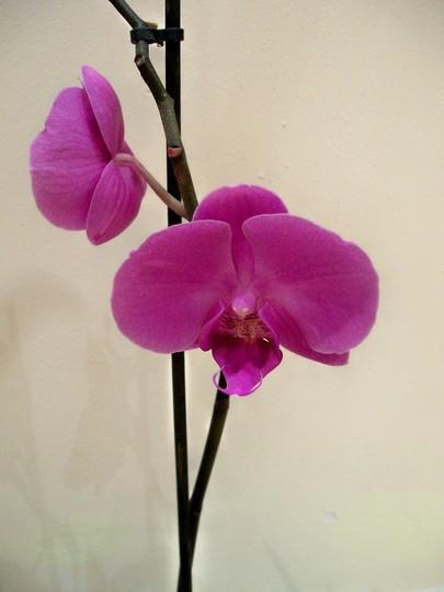 orchid1.jpg (Phalaenopsis 'Lipperose')