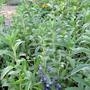 A garden flower photo (Lallemantia canescens (Blue Snap))