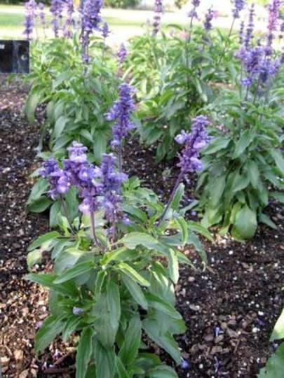 IMG_0358.jpg (Salvia farinacea (Mealy sage))