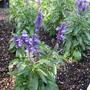 IMG_0358.jpg (Salvia farinacea (Mealy sage))