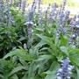 IMG_0360.jpg (Salvia farinacea (Mealy sage))