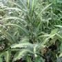 IMG_0385.jpg (Arachniodes simplicior)