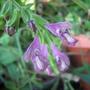 Salvia Trijuga