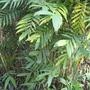 Feather Palm (Chamaedorea microspadix)