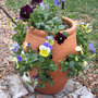 Strawberry Pot Pansies (Viola)