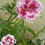 pinkish white beauty