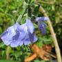 Salvia Azurea (Salvia azurea)