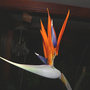 Bird Of Paradise FIRST Bloom !! (Strelitzia reginae (Bird of paradise))