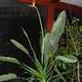 BOP Full View (Strelitzia reginae (Bird of paradise))