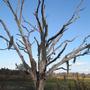CBBR - Old Tree