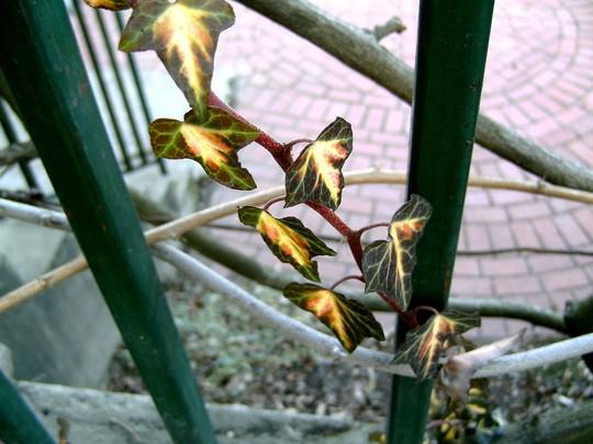 PICT0057.jpg (Hedera helix (English ivy))