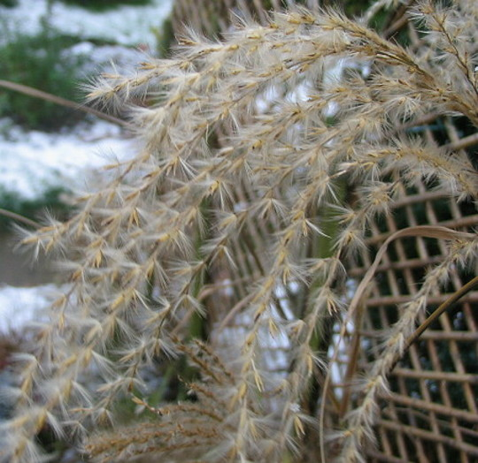 Miscanthus seedhead (Miscanthus sinensis)