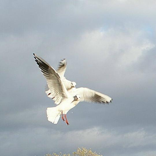 Squabbling Seagulls