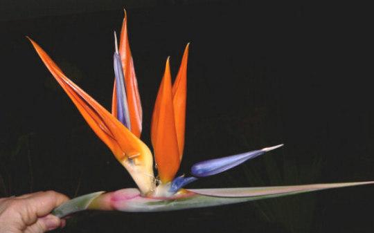 Day 7 of First BOP Bloom (Strelitzia reginae (Bird of paradise))