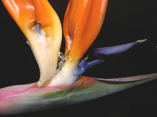 Strange Clear Substance (Strelitzia reginae (Bird of paradise))