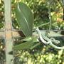 Orchid plantlet on Phalaenopsis