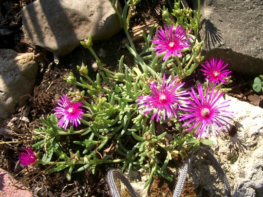 Hardy ice plant, flowers well. Summer 2007 (Delosperma cooperi (Hardy Ice Plant))