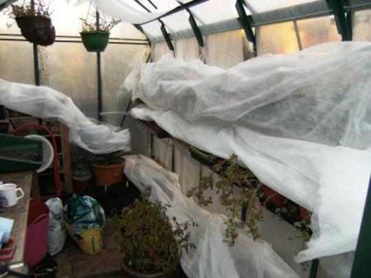 Fleece on plants in the greenhouse.