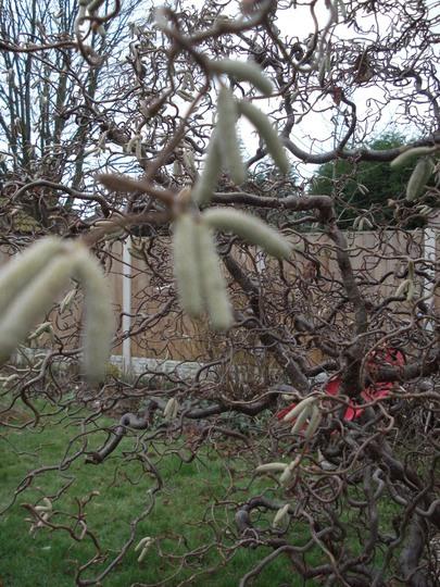 The catkins are coming!! (Corylus avellana (Corkscrew hazel))