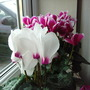 from my indoors plants (Cyclamen coum)