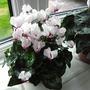 my indoor plants2 (ciclamen)